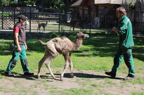 В Калининградском зоопарке родились два верблюжонка