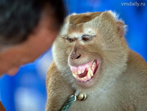 Иран прокатил обезьяну