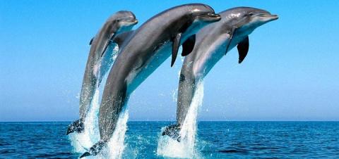 Австралийские дельфины в бол…