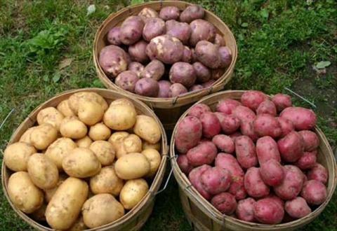 Сорта картофеля, которые кол…