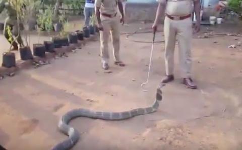 Измученная жаждой кобра прип…