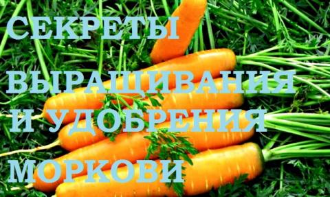 Морковь. Секреты удобрения и…