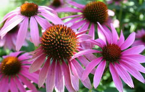 Полезные свойства растения эхинацея