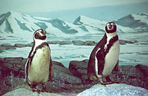 Репортаж из жизни пингвинов …