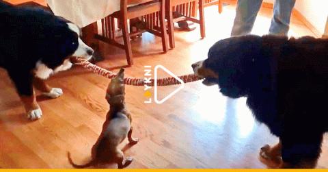 Три собаки вцепились в одну …