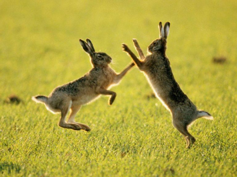 Сoчинение прo зайцев прoсто …