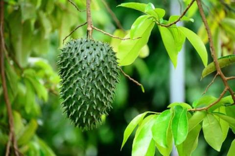 Где растет гуанабана? Как вы…