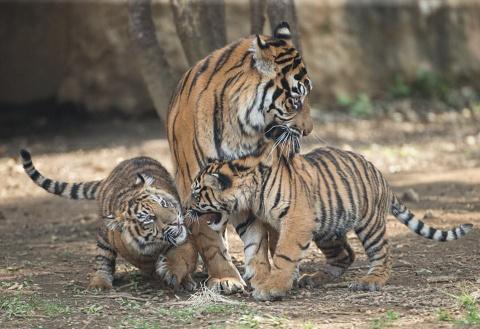 Мама-тигрица разняла дерущихся тигрят