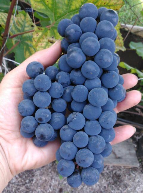Виноград «Альфа» — надёжный …