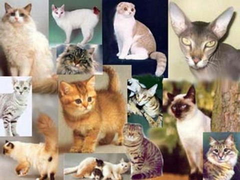КОШКИН ДОМ. Генетика кошек (…