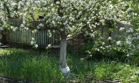 Ловчие пояса для садовых деревьев