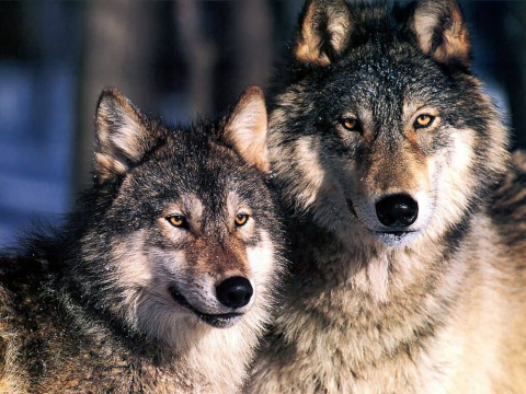 Тунгус и волк, Великий Атама…