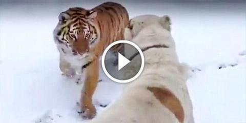 Жесточайшая схватка алабая с тигром. Вот что бывает, когда встречаются два суровых хищника!