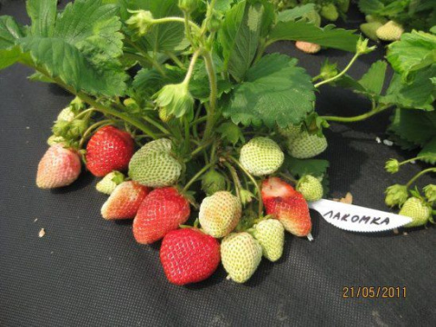 Выращивание земляники под агроволокном