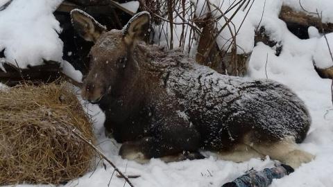 Жители Кемерова спасают лосе…