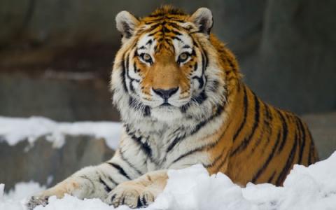 Амурский тигр стал звездой с…