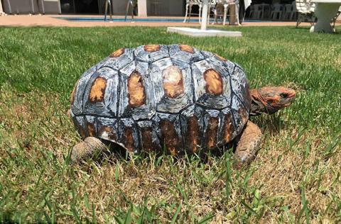 Травмированная черепаха получила первый в мире панцирь, напечатанный на 3D-принтере