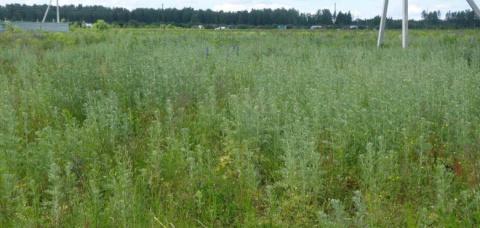 Полынь - трава знахарей и колдунов