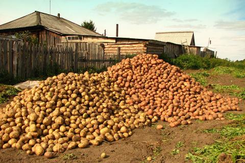 Сроки созревания картофеля: собираем урожай!