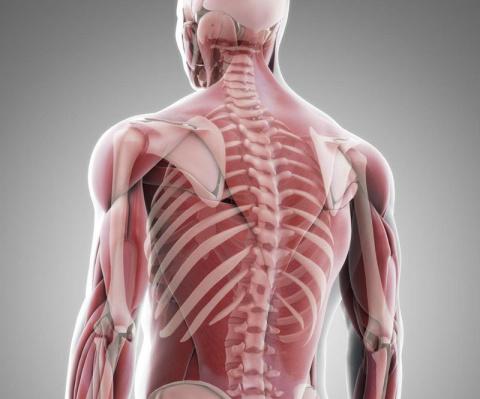 Секрет наших мышц, откладывающий старость