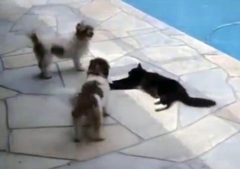 Эти собаки посмели потревожить кота. Кара настигла их молниеносно