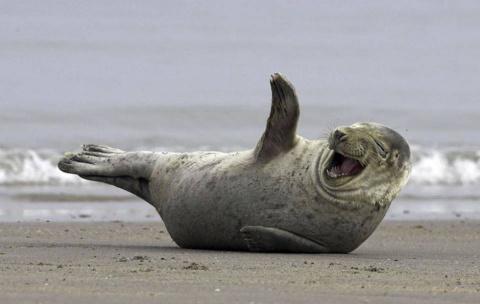 Ожидается прибытие тюленей на побережья Калининградской области