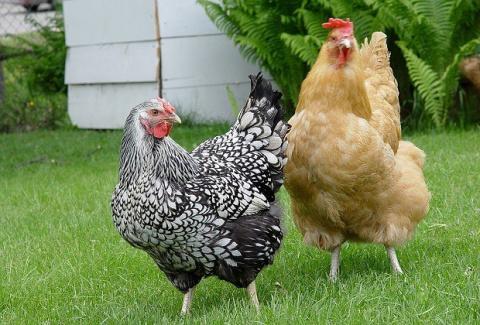 Куриный помет как удобрение