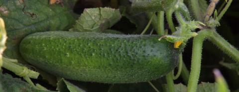 Выращиваем огурцы без горечи, зная особый секрет