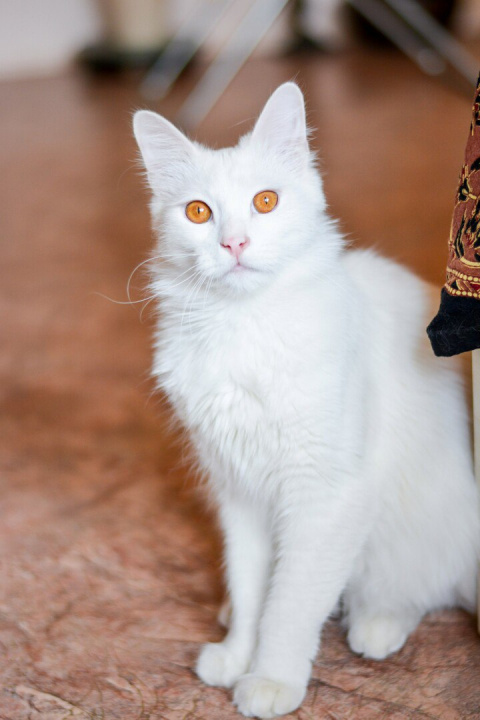 Белоснежный, роскошный Кот!!!