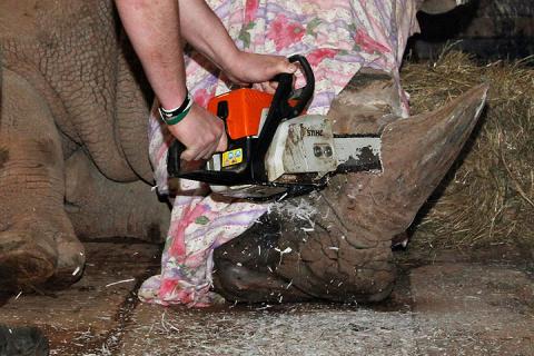 В чешском зоопарке носорогам отпилили рога, чтобы спасти их от браконьеров