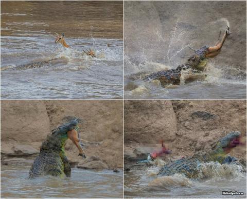 Крокодил перекусил газель пополам на переправе
