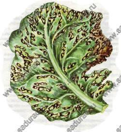 Борьба с вредителями капусты и других крестоцветных
