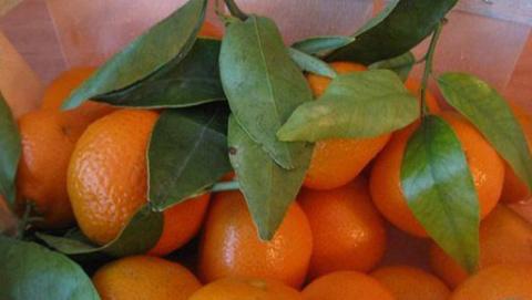 Размножение мандарина способ…