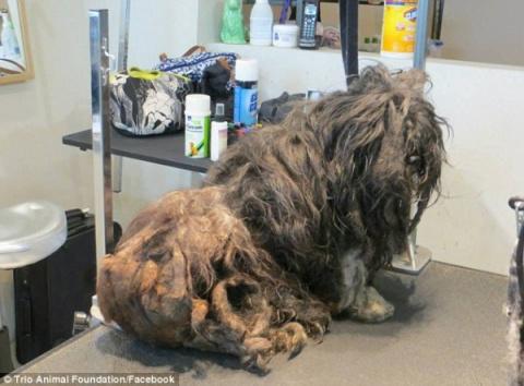 Бездомную собаку постригли в…