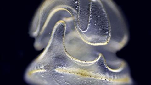Океанологи нашли необычное животное – у него есть голова, но нет тела