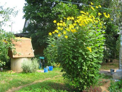 Удивительно полезное растение, которое любую свалку превратит в оазис!