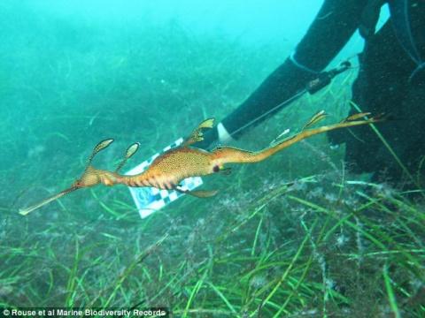 Редчайшего рубинового морского дракона впервые удалось снять на видео