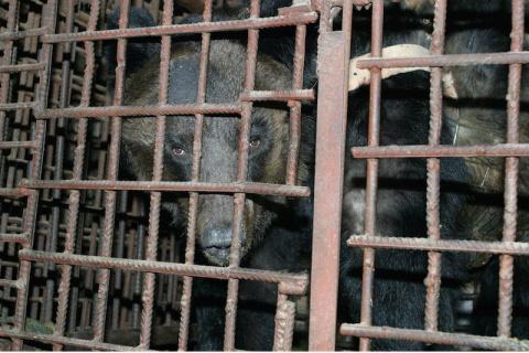 Медведя спасли с нелегальной…