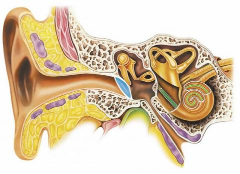 Нейростарости: нейропластичность против тугоухости