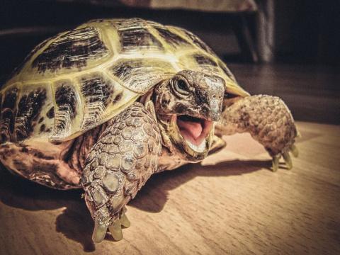 Черепаха вышла на тропу войны, берегитесь коты! (Видео)