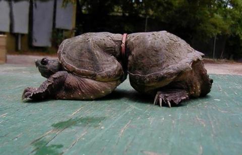 Эта черепаха запуталась в ку…