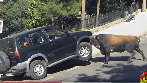 В Испании бык атаковал автомобиль