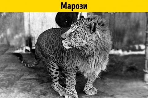 11 помесей животных, о существовании которых вы не догадывались