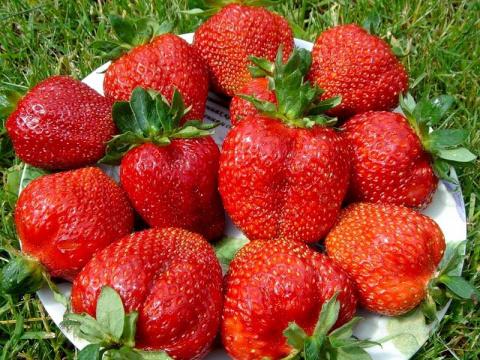 Как продлить плодоношение земляники