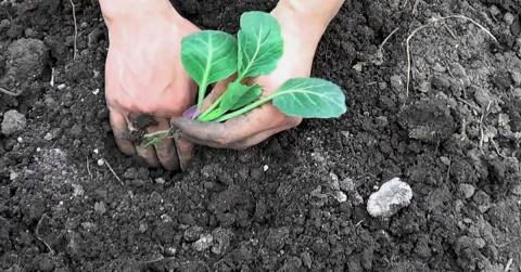 Выращиваем рассаду белокочан…