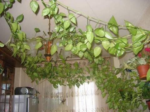 Полезна лиана в доме по фен-шую или нет?