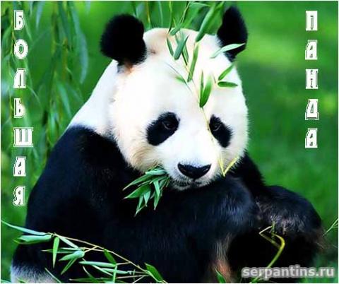 Что за зверь панда