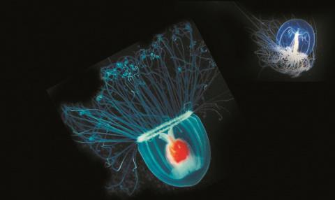 Эта медуза – единственное бессмертное существо на Земле!