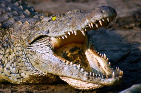 Бесшумный монстр! Огромный нильский крокодил нападает на человека