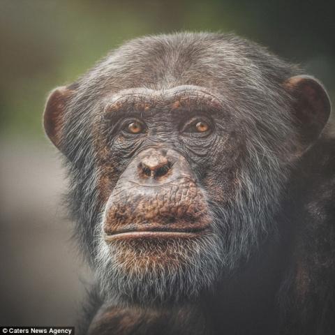 «Живая» мимика приматов, кот…